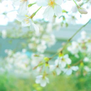 外出自粛で地元桜散歩♪