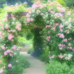 横川SAの薔薇♪