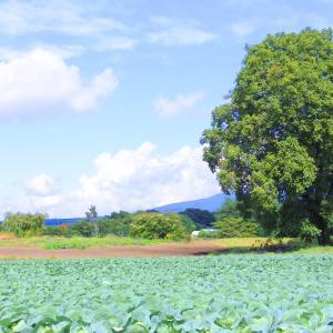 浅間山とレタス畑♪