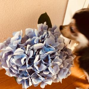 紫陽花に恋して