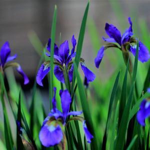 梅雨の花アヤメが咲いた