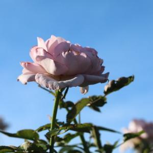 荒れた庭にもバラは咲く・・・ヴァグレット、ジャルダンドレソンヌ