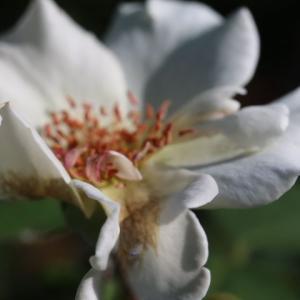 夏花ばかりのバラ庭です・・・プリンセスアレキサンドラオブケント、ラマリエ