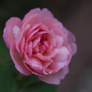 かわいく咲いたセラフィム、貧弱なガブリエル・・・
