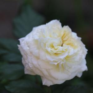 清流とルシエルブルーが咲いた♪