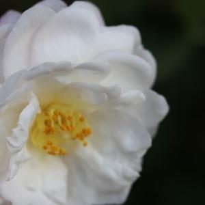 サザンカが咲いた ヘリテージとローズマリー