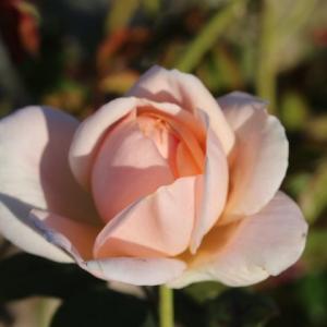 美形なルシエルブルー、濃く咲いたマチルダ