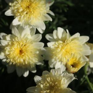 お花を買ってきました&クチュールローズチリア