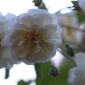 美しいガブリエルが咲きました。