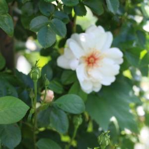 春のバラ ジャクリーヌデュプレ、ローズマリー クイーンオブスエーデン
