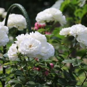春のバラ ピローファイト ムンステッドウッド クチュールローズチリア