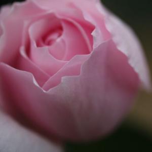 新春に咲いたバラ、エンチャンティッドイブニング、ホーラ