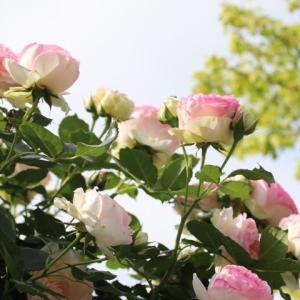春のバラ、ピエールドロンサール、ウィリアムアンドキャサリン