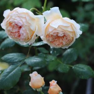 春のバラ クラウンプリンセスマルガリータ、ウィンチェスターキャシドラル