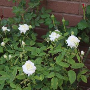 春のバラ ルブラン、フィオーラ