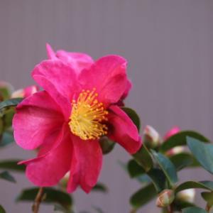 まだ咲いてるバラたち ジュリエット、ラパリジェンヌ