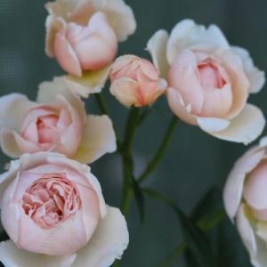 春のバラ ジェフハミルトン、ファビュラス