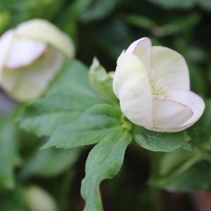 今日のクリスマスローズと春のバラ