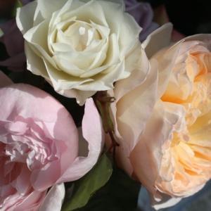 今咲いているバラと春のウォラトンオールドホール