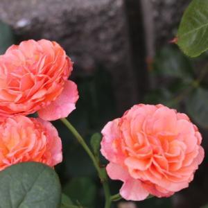 春のバラ、かおりかざり、ソンブロイユ