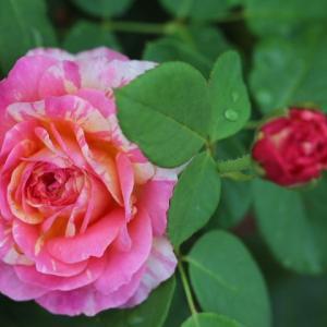 春のバラ クロードモネ、真珠貝
