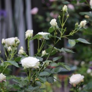春のバラ シュー・ラ・ネージュ、みやこ
