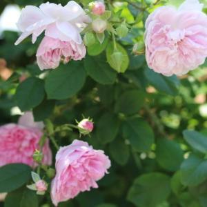 春のバラ ハーロウカー、プリンセスシビルドルクセンブルグ