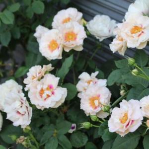 春のバラ アイズフォユー、フレンチレース