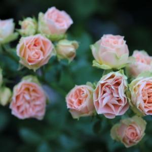 春のバラ ロマンティックレース、ノヴァーリス