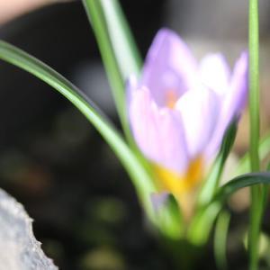 今日のクリスマスローズ、春のバラ、コラーユ・ジュレ