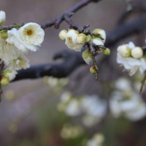 今日のクリスマスローズと春のバラ、グラミスキャッスル