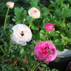 今日のクリスマスローズと春のバラ、クリーミーエデン