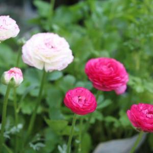 今日のクリスマスローズと春のバラ、マチルダ