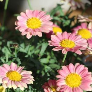 買ってきたお花と春のバラ ソレイユバルティカル