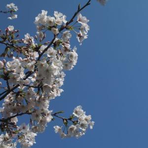 桜とお花とクリスマスローズとバラの蕾
