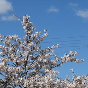 散り始めた桜、咲きそうなバラ、縫わないマスク作ってみました