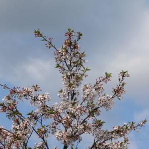桜が終わると青い花&バラも次々咲きそうです