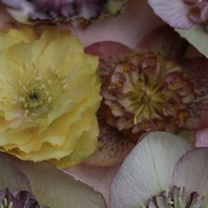 クリスマスローズのドライとモッコウバラの開花