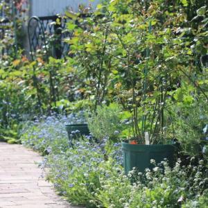 ダーシーバッセル?とラマリエと庭の花たち・・・♪