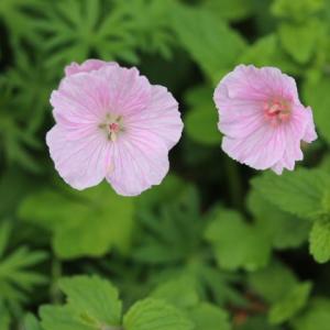バラとクレマチスが元気になる季節・・・ラマリエが咲いた