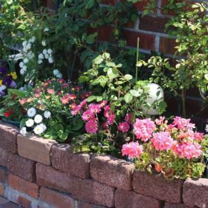 マチルダとヴァグレットの開花&なんちゃって花壇