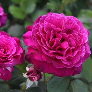 バラが次々咲き始めた レディオブシャーロット、カーディナルリシュリュー