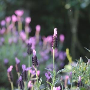 バラが次々咲き始めた ペッシュボンボン バロン・ジロ・ド・ラン