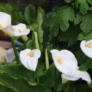 開花ラッシュのバラと花  ジェフ・ハミルトン、ラレーヌビクトリア