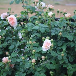 バラがラッシュで写真が追いつかない・・・ジャルダンドレソンヌ、モリニュー、マチルダなど