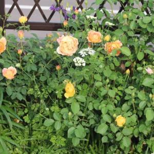 朝の庭のバラ アイズフォユー ブルーフォーユー ラレーヌビクトリア