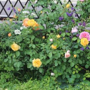 庭がどんどんバラに覆われていく・・・ガブリエル、清流エンチャンティッドイブニング