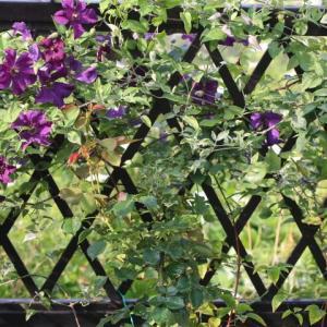 クレマチスの庭になりました。&今日のバラたち