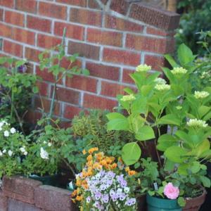 玄関の花壇の入れ替え&今日のバラ