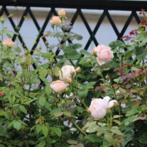 すてきに咲いたブルームーンストーンとプリンセスシビルドルクセンブルグ